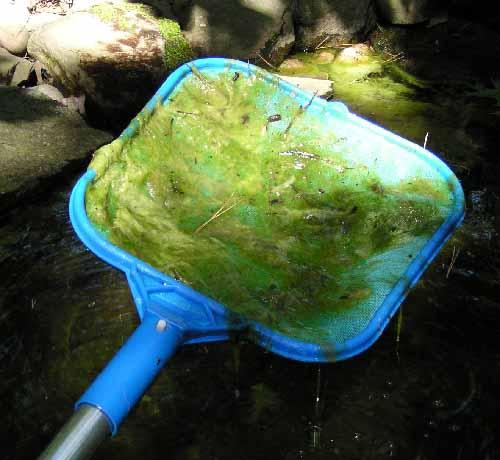 Algae in scoop
