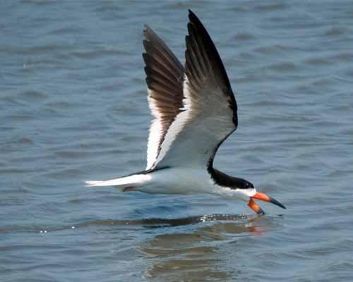 Skimmer skimming
