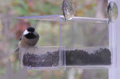 Chickadee at window feeder