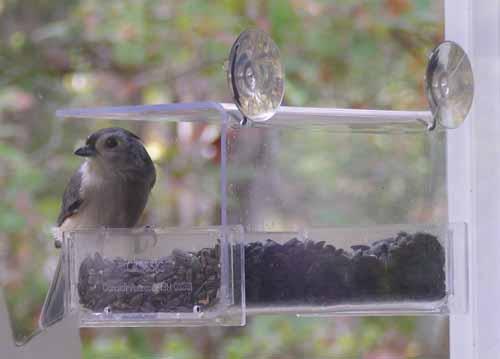 Titmouse at window feeder
