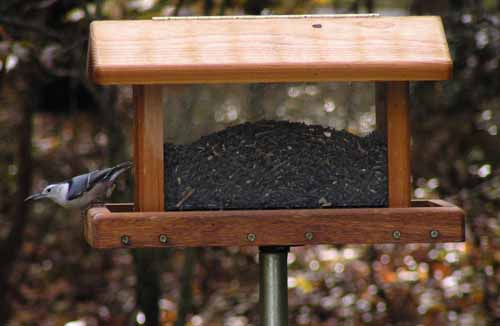 White-Breasted Nuthatch at hopper