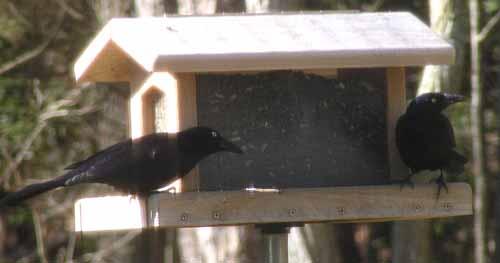 Hopper feeder with Grackles