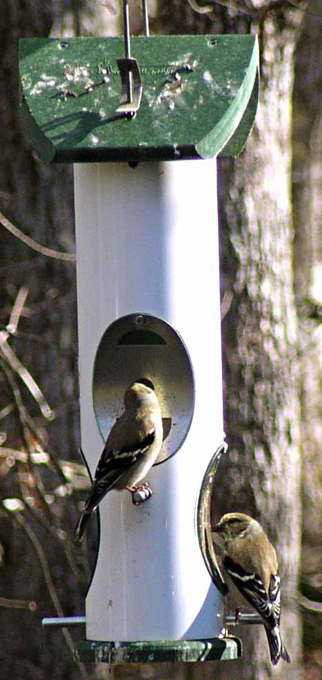 Thistle Feeder, Goldfinches