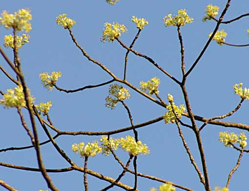 sassafrasblooms