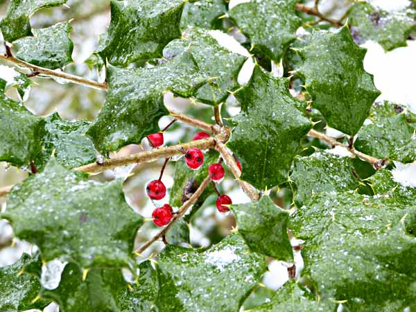 FrozenHolly
