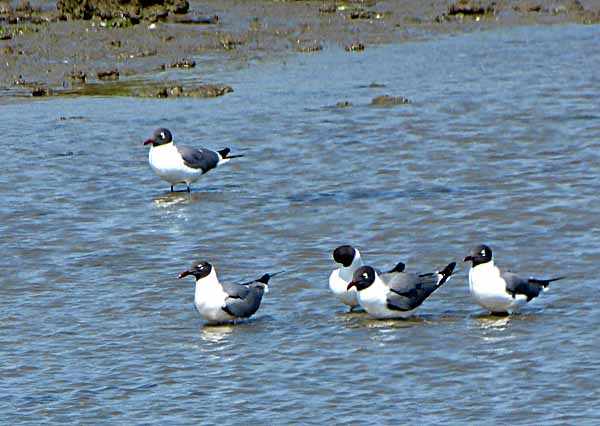 LaughingGulls