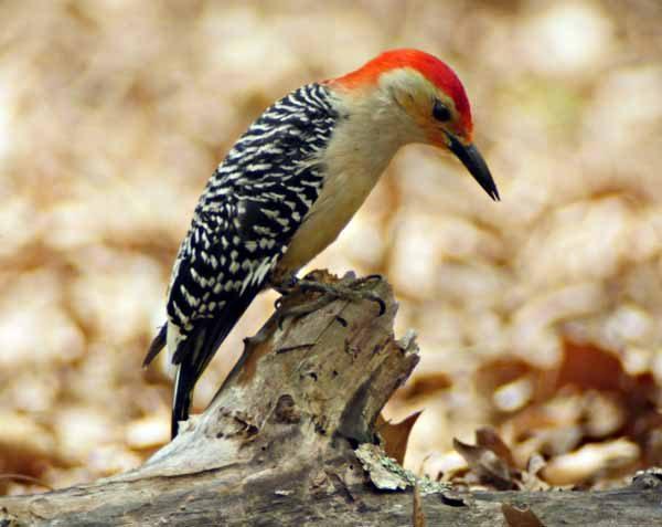RBWoodpecker