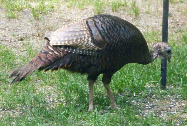 TurkeyFeeder